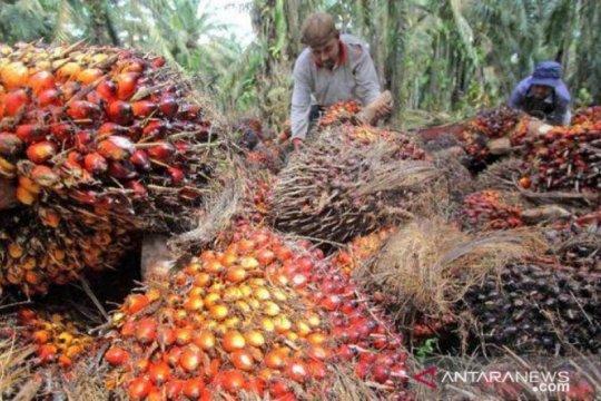 Permintaan sawit dunia melemah picu turunnya harga sawit Riau