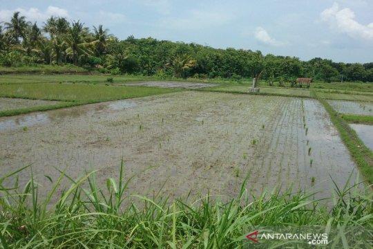 Puluhan hektare tanaman padi di Kulon Progo mati akibat serangan keong