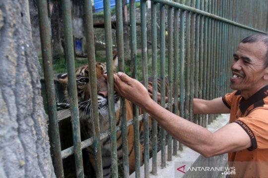 Kelahiran dua anak Harimau Sumatera