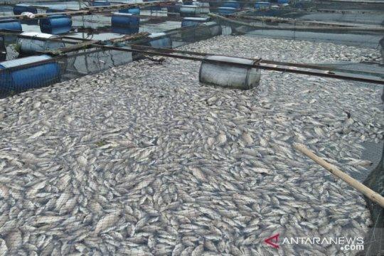 10 ton bangkai ikan di Danau Maninjau berhasil dikeluarkan