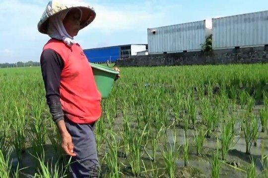 Petani Ngawi kesulitan dapat pupuk bersubsidi