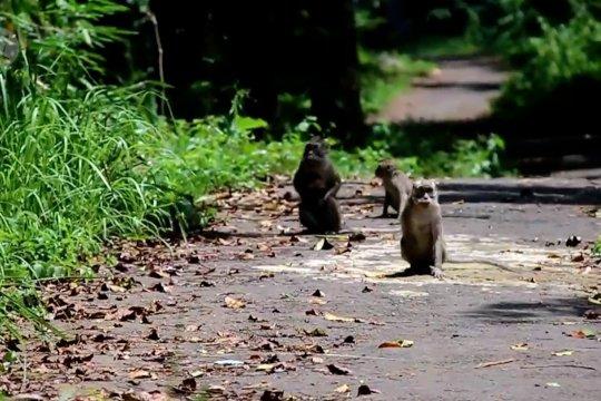 Ratusan monyet liar resahkan warga Kuningan-Jabar