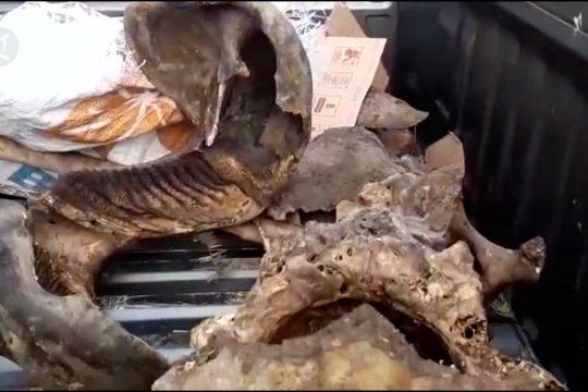BKSDA temukan dua bangkai gajah di Aceh Jaya