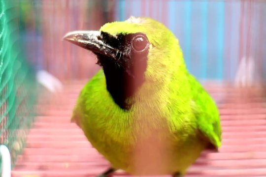 Polair Jatim gagalkan penyelundupan ratusan burung Cucak Ijo