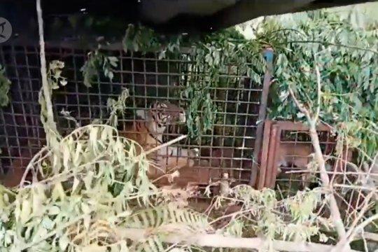 Petugas berhasil menangkap seekor harimau Sumatera di Desa Plakat