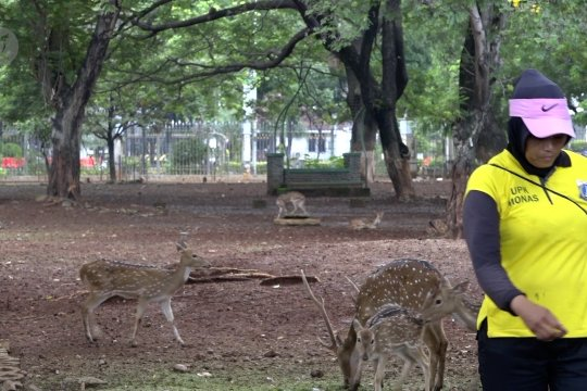 Revitalisasi Monas, tidak ada yang tahu nasib rusa-rusa totol