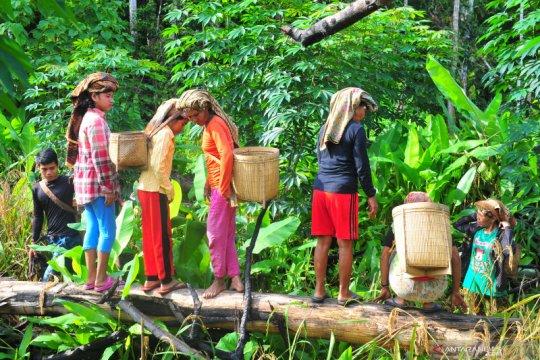 Panen padi ladang suku Talang Mamak