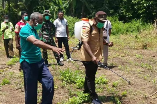 Hama menyerang ribuan hektare tanaman jagung di Flores Timur