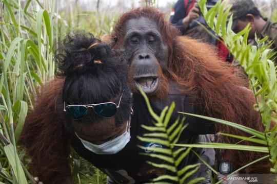 Penyelamatan orangutan di Ketapang