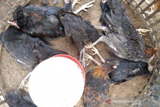 Denmark musnahkan 25.000 ekor ayam usai temuan flu burung