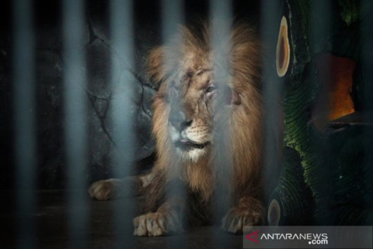Petugas kebun binatang di Australia kritis usai diterkam singa