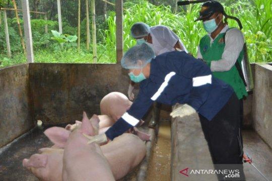 Kementan awasi pemotongan babi untuk Hari Raya Galungan dan Kuningan