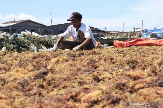 Ekspor rumput laut Nunukan ke China terhambat virus corona