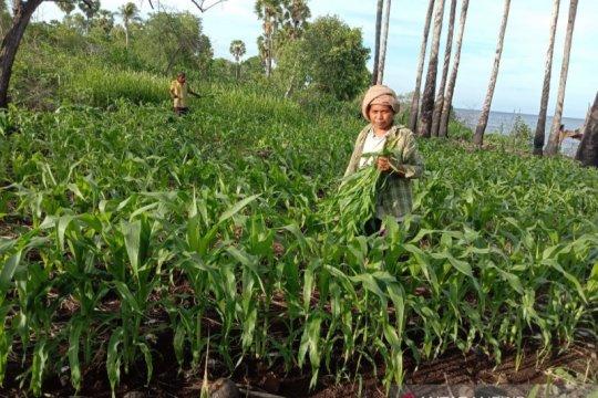 Ulat grayak ancam panen jagung di Flores Timur