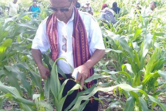 Pemkab Flores Timur minta bantuan Pusat atasi serangan ulat grayak