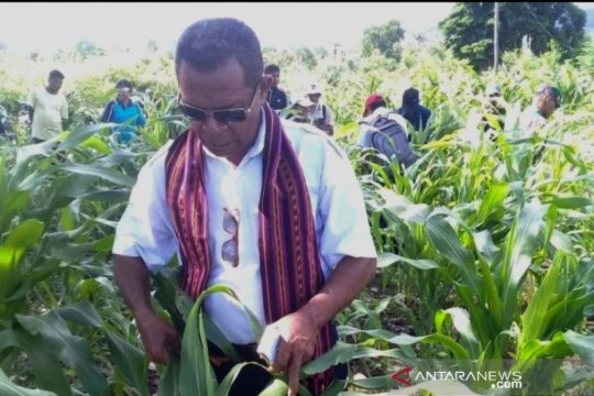 Hama tikus serang 8 hektare lahan jagung di Flores Timur