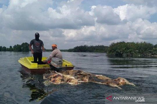 Sudah 48 ribu babi mati di Sumut akibat Hog Cholera dan ASF