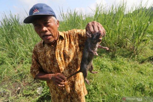 Memasuki musim tanam petani di Minggir Sleman berburu hama tikus