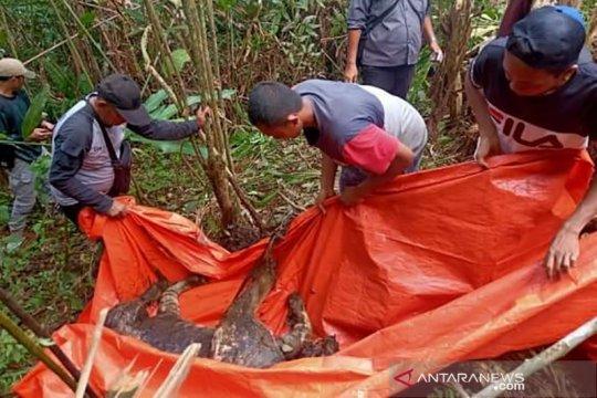 BKSDA : Harimau mati di Bengkulu kena jerat pemburu