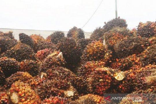 Harga sawit Riau naik sementara di tengah pandemi corona