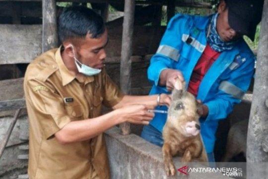 Timor Tengah Utara eliminasi serangan virus misterius pada babi