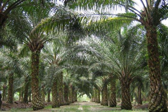 Honduras ingin bekerja sama pada sektor sawit dengan Indonesia