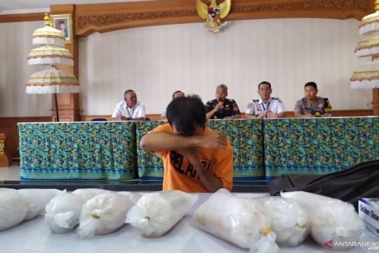 BC Ngurah Rai tangkap penyelundup 10.008 bayi lobster