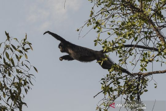 Melihat lutung Jawa di kawasan konservasi Muaragembong