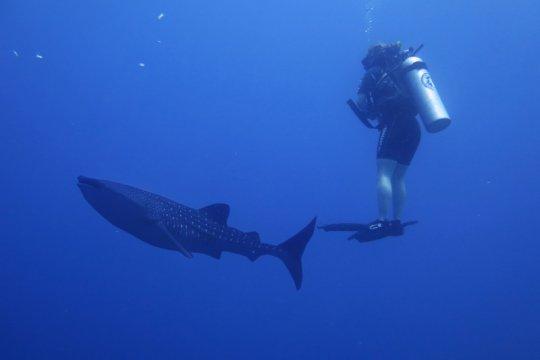 KKP: Desa wisata bahari dengan hiu paus dapat tingkatkan ekonomi warga