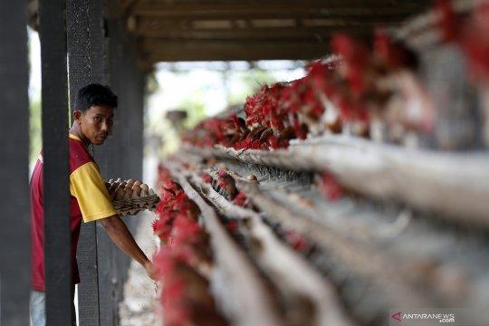 Kementan sebut pengendalian produksi ayam ras berdampak positif