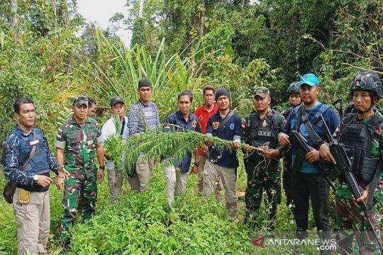 BNN Papua: 80 persen ganja yang beredar di Papua berasal dari PNG