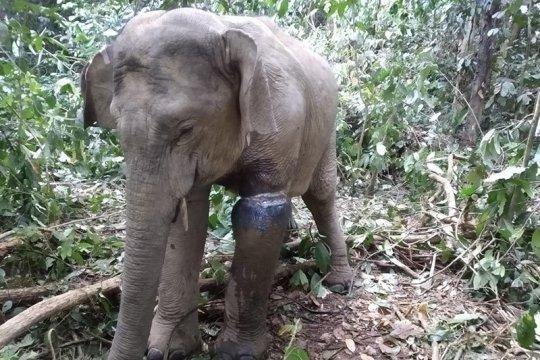 Gajah terkena jerat di Aceh Timur dievakuasi tim BKSDA-FKL