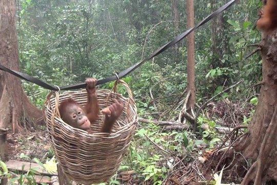 Ini ragam tantangan saat melepasliarkan orangutan