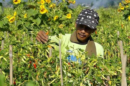 Produksi cabai dan bawang merah ditargetkan tumbuh 7 % per tahun