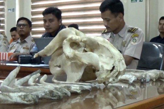 Penyelundupan kerangka duyung ke Thailand berhasil digagalkan
