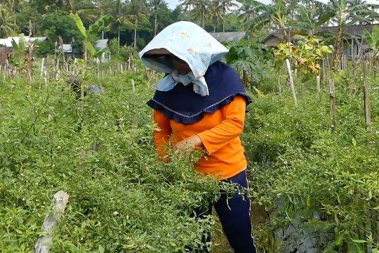 Penyakit kuning serang tanaman cabai di Temanggung