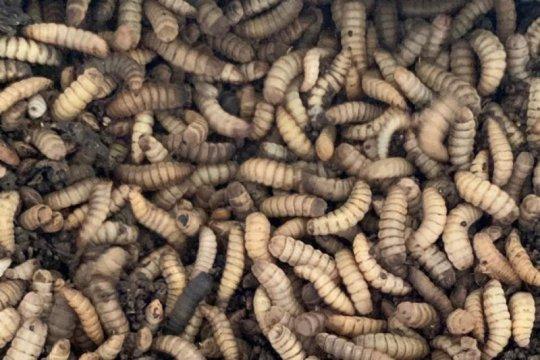 KKP bangun tujuh industri pakan percontohan berbasis maggot