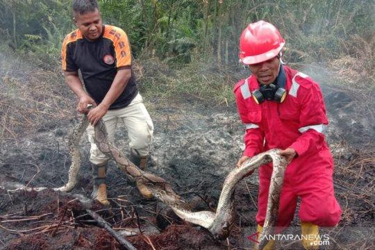 Ular piton terpanggang karhutla di Pekanbaru bukan spesies dilindungi