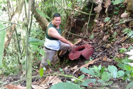 Bunga Rafflesia Arnoldii mekar di Rejang Lebong