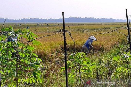Kabupaten Cilacap optimistis surplus beras pada 2020