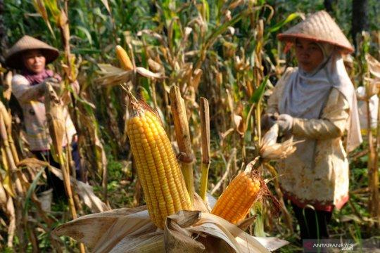 Kementan catat produksi jagung panen Maret capai 6 juta ton