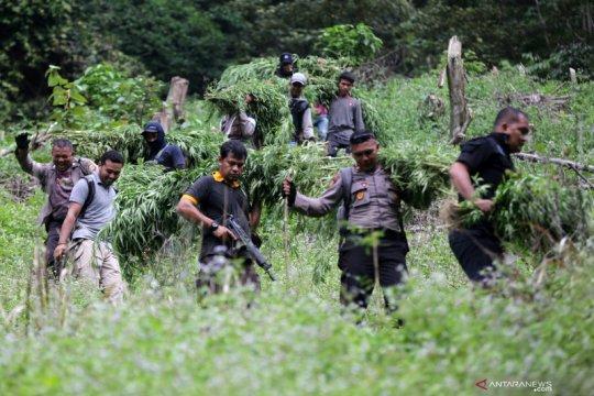 Pemusnahan ladang ganja 5 hektare di Aceh
