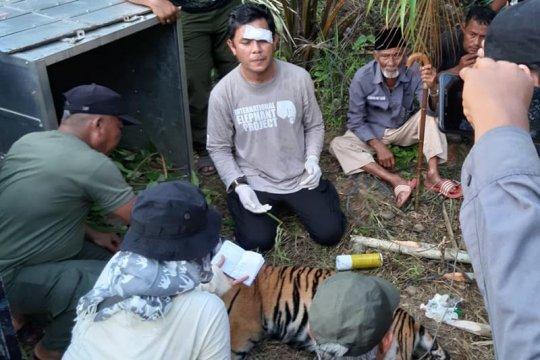 BKSDA akan lepas liarkan harimau ke Taman Nasional Gunung Leuser