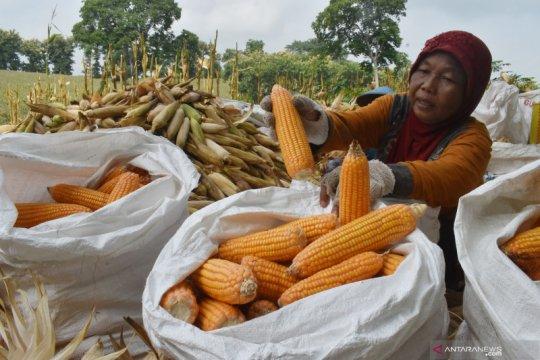 Indonesia tetap ekspor produk olahan jagung ke Vietnam