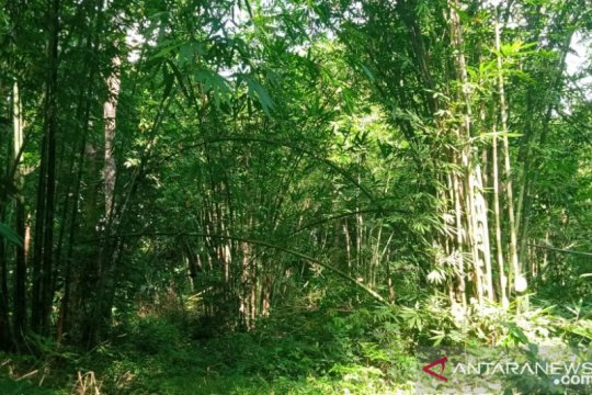 Peneliti: Hutan bambu Tana Toraja mendesak dilestarikan