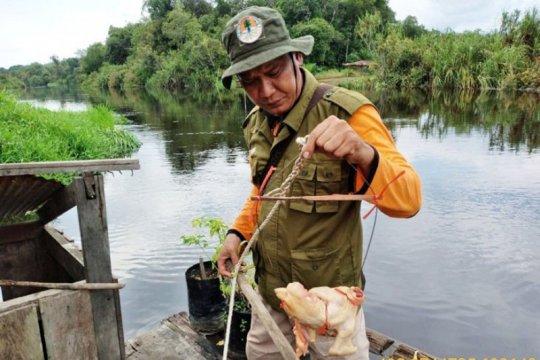 BKSDA pasang jerat tangkap buaya besar di Kotawaringin Timur