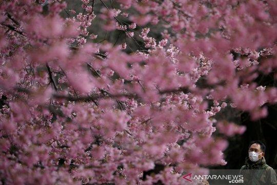 Gubernur Tokyo minta warga nikmati keindahan sakura tahun depan saja