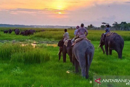 Petugas dan warga halau gajah liar TNWK akan masuk perkebunan