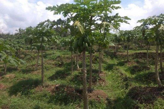 Asosiasi petani pepaya Lebak siap penuhi kebutuhan pasar Jakarta