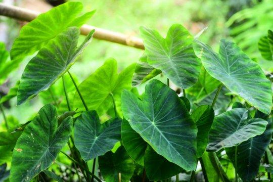 Berbagai manfaat daun talas